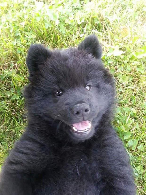 13 собак, которые выглядят, как маленькие медвежата