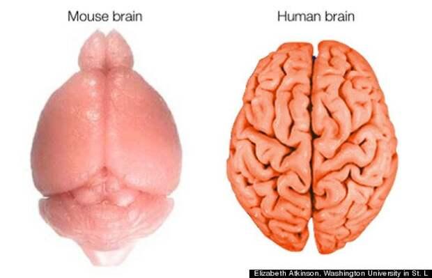 Вопрос на засыпку: зачем нужны и как формируются извилины нашего мозга?