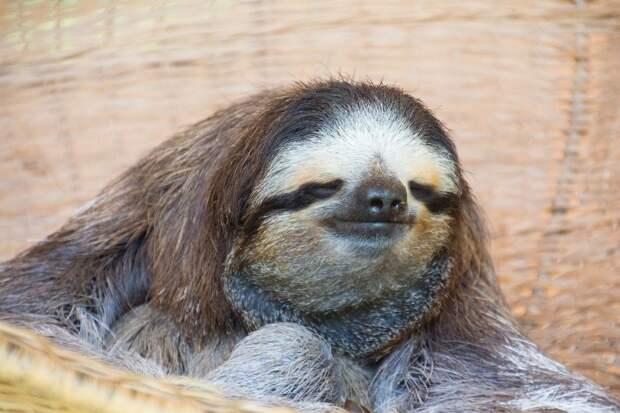 17 удивительных фактов о ленивцах 5