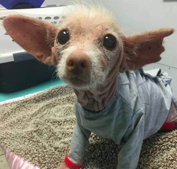 Необычная лысая собака с большими ушами загадала загадку своим спасителям