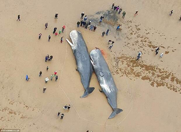 Экологическая катастрофа? 23 мёртвых кашалота