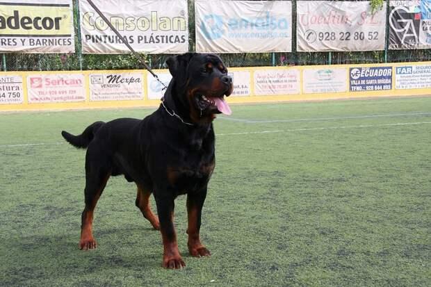 AggressiveDogs05 10 самых агрессивных пород собак