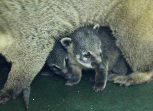 В Красноярском зоопарке показали детенышей носух