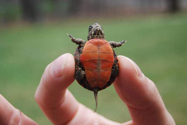9. Он такой маленький, что его можно держать двумя пальцами ниндзя, питомцы, черепахи