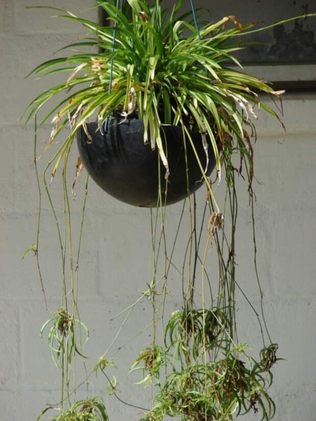 Хлорофитум – комнатное растение, которое должно быть в каждом доме