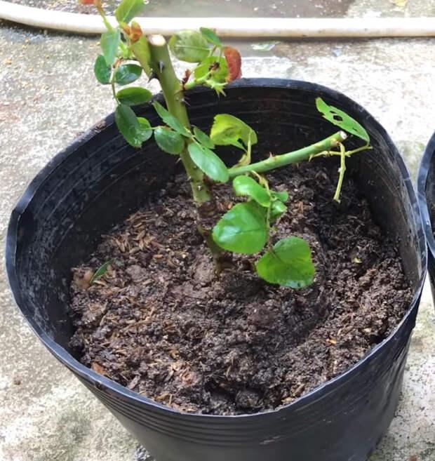 Размножение роз по-новому. Быстрый и действенный метод