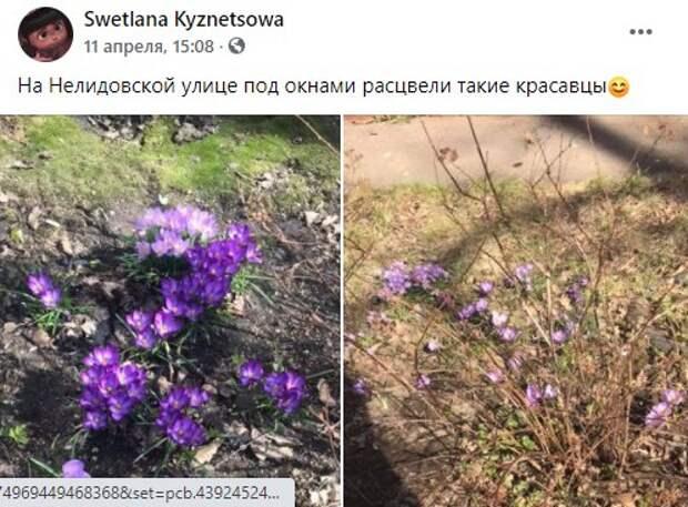 Фото дня: на Нелидовской расцвели крокусы