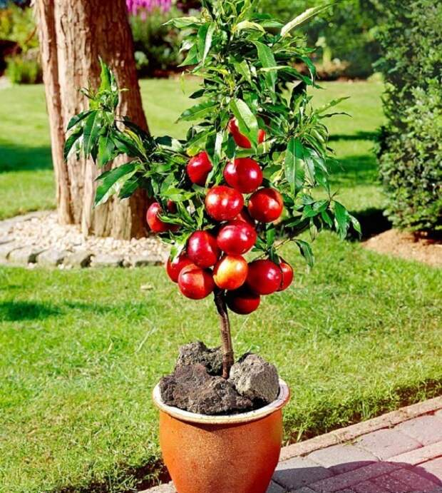 Не обязательно иметь сад под окнами, чтобы выращивать фрукты!