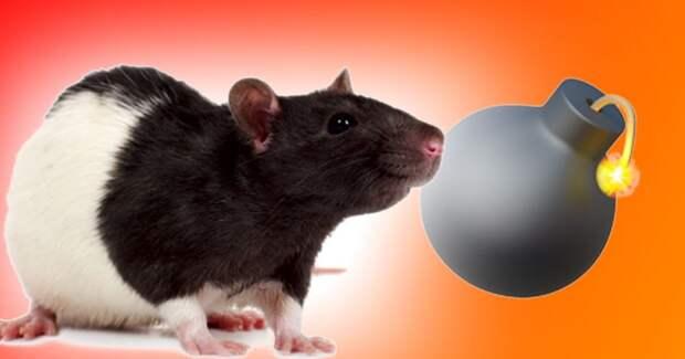 Все считают крыс противными и злыми, но они могут спасать людей. Вот как они это делают
