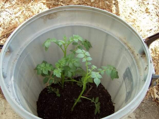 Как вырастить собственный картофель, если у вас нет дачного участка
