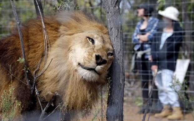 Львы, привезённые из Колумбии и Перу в Южную Африку, осваиваются на новом месте обитания в заповеднике больших кошек Emoya Big Cat Sanctuary к северу от Йоханнесбурга.