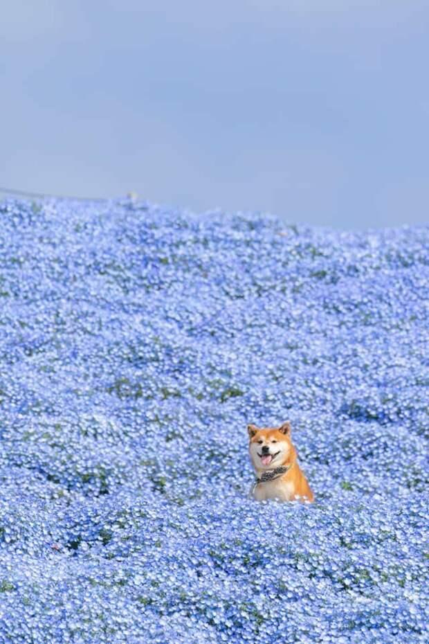 Четвероногий излучает столько радости и тепла, что они ощущаются даже на расстоянии Хати, животные, парк, сиба-ину, собака, фото, цветы, япония