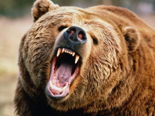 Медведь в Томске откусил руку пьяной девушке