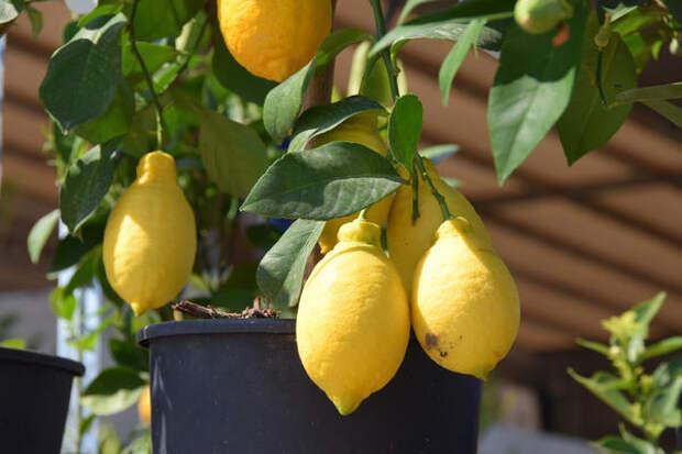 Летом выносите лимон на балкон или в сад