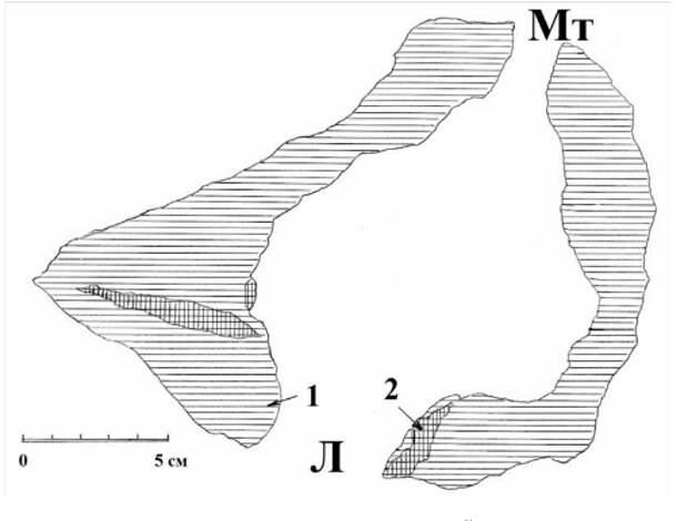 Рис. 13. Схема поперечного спила через гнездовое дупло белоспинного дятла на уровне летка. Л – леток; Мт – морозобойная трещина, 1 – древесина ствола усыхающей чёрной ольхи; 2 – внутренние сучки. Верховья реки Псковы, 1981 год. Рисунок автора.