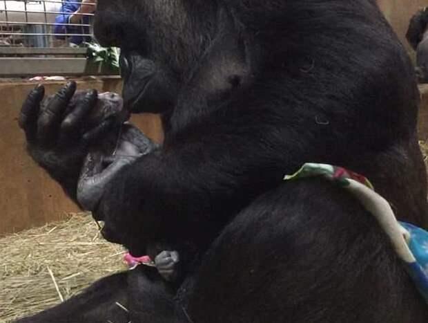 Молодая мама тут же принялась нянчить и целовать сына Смитсоновский национальный зоологический парк, горилла, детеныш, животные, поцелуй, рождение, фото