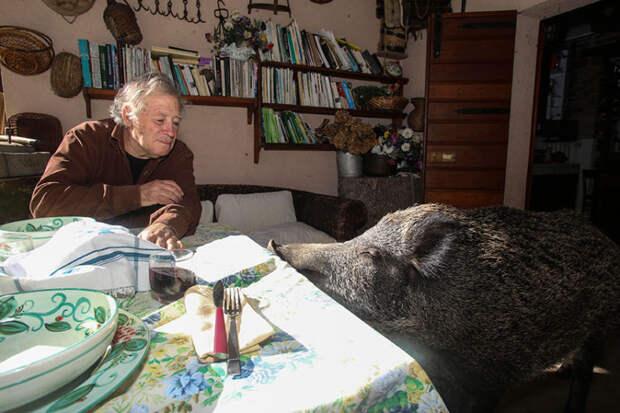ТЕРЕМОК. Домашняя дикая свинка Паскалина