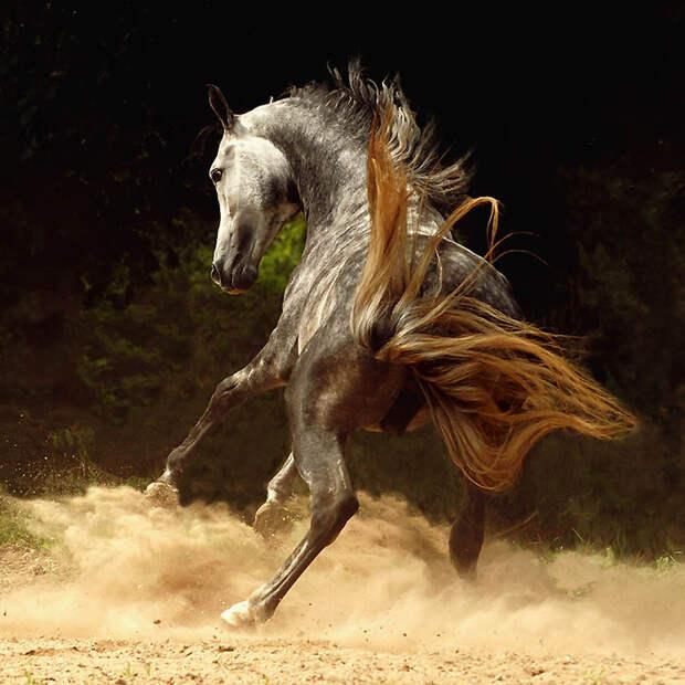 27. Арабская лошадь произошла в арабской пустыне, и все арабские лошади так или иначе имеют отношени