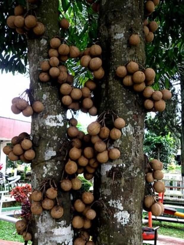 Дерево кепел (кеппел) (лат. Stelechocarpus burakol) — Интересные животные