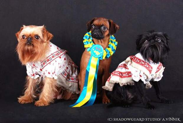 Бельгийский, Брюсельский и пти-брабансон, фото собаки фотография