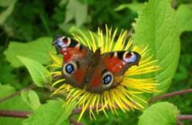 Нидерланды потеряли 84% бабочек