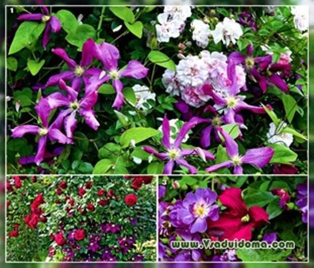 Вьющиеся растения для сада и дачи — фото и названия
