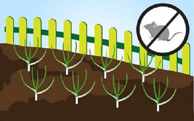 Как вырастить чеснок на грядке: лучшие рекомендации для начинающих садоводов