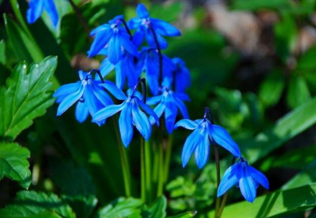 первоцветы которые не нуждаются в уходе суилла