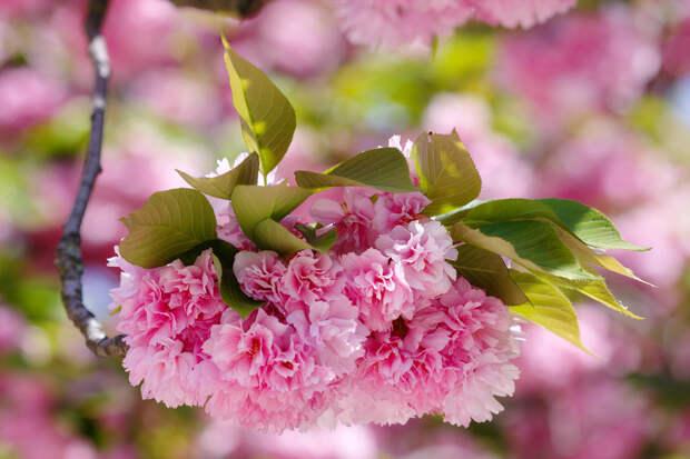 Цветущая сакура, или вишня мелкопильчатая  весна, деревья, цветы