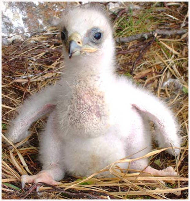 23. Птенец орла детеныш, животные