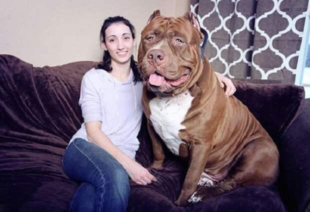 Несмотря на свои устрашающие размеры, это очень добрый и верный пес. Многие люди побаиваются питбулей, но Халк - преданный друг, который никогда не обидит человека, и всегда радостно встречает гостей.