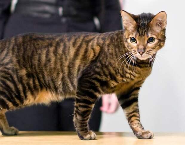 Тойгер, фото породы кошек фотография картинка