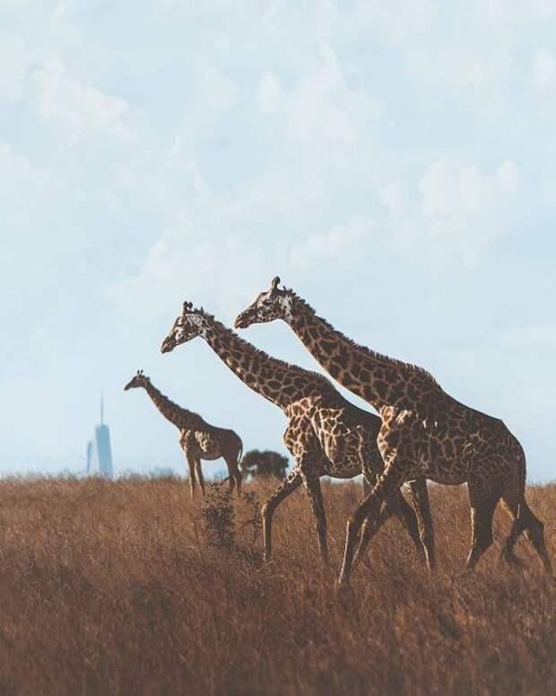 Жирафы. Автор: Donal Boyd.