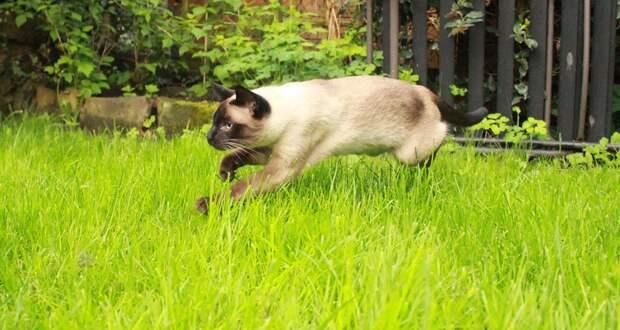 Сиамские кошки. Красивые фото. Кот охотится
