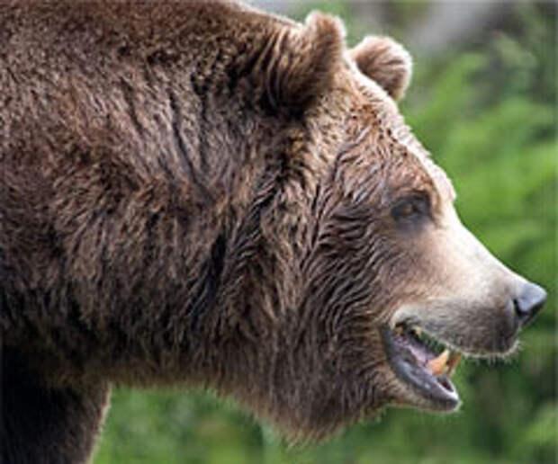 Брутальный грязный русский медведь – так видит нас британский бульдог