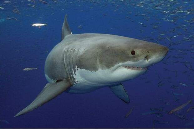 «Друг акул» — необычная жизнь Джима Абернети