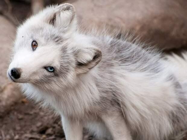 Невероятно фотогеничная лиса с разным цветом глаз