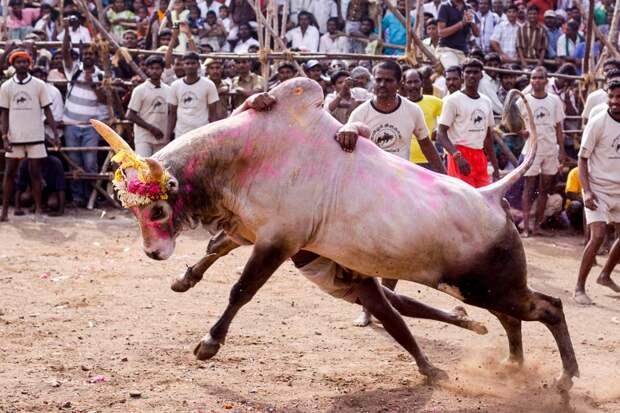 Укрощение быков в Индии