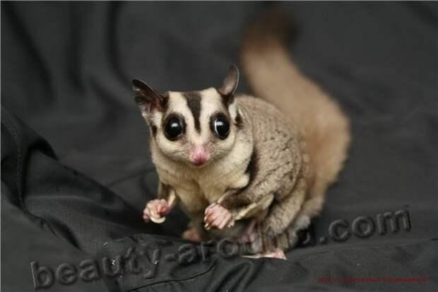 Сахарный поссум - животное Австралии, австралийское животное