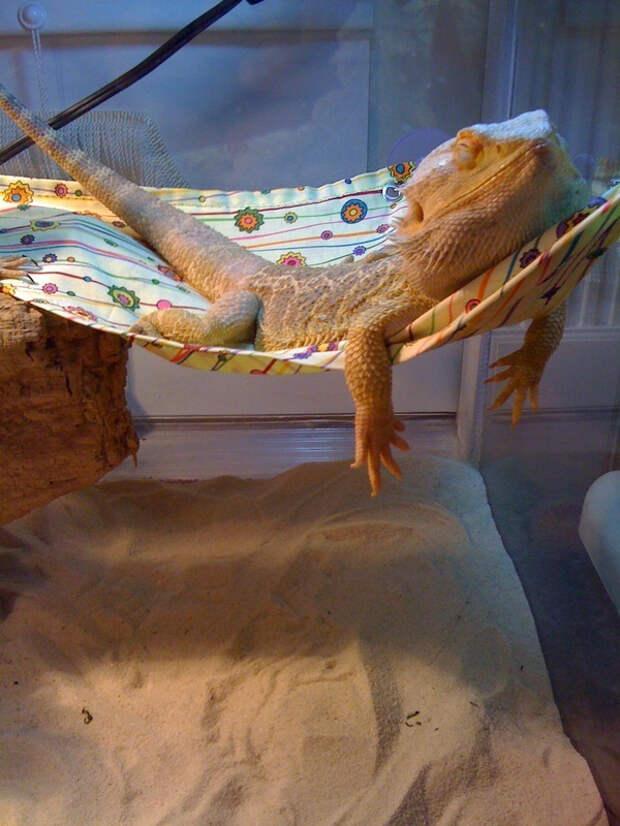 ящерица в гамаке