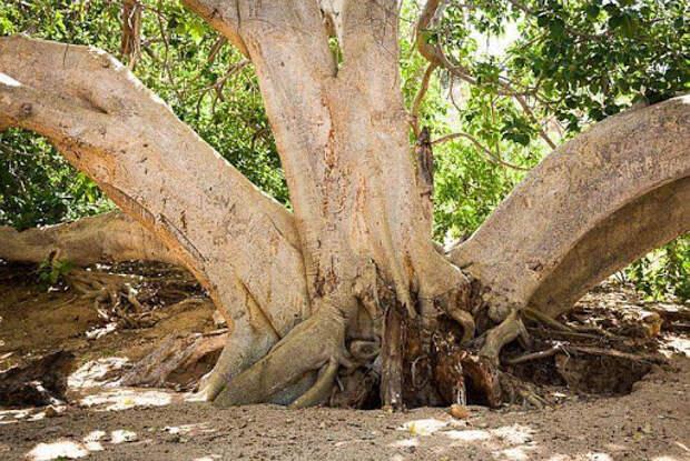 Длина корней Африканского фикуса достигает 120 метров • Занимательная  энциклопедия