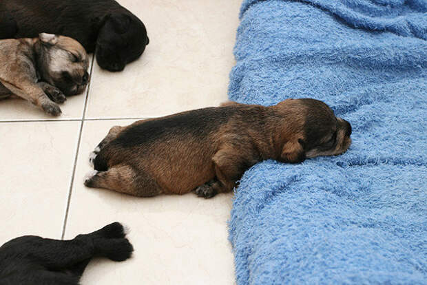 Щенки, которые проиграли битву со сном животные, сон, щенки