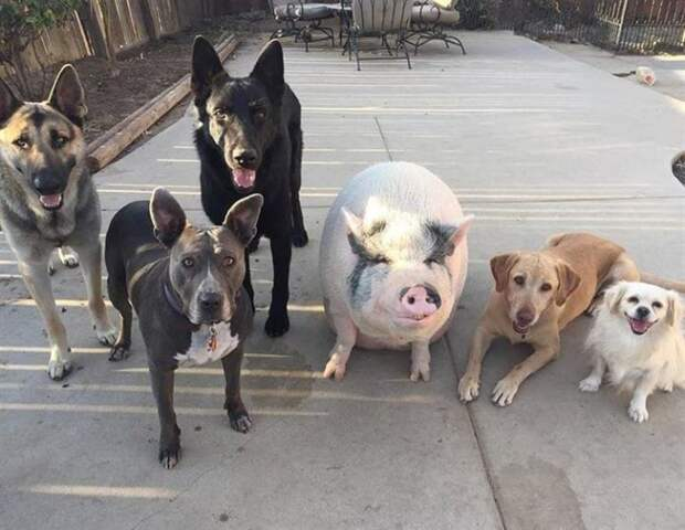 Свинка живёт в компании 5 собак и думает, что она одна из них