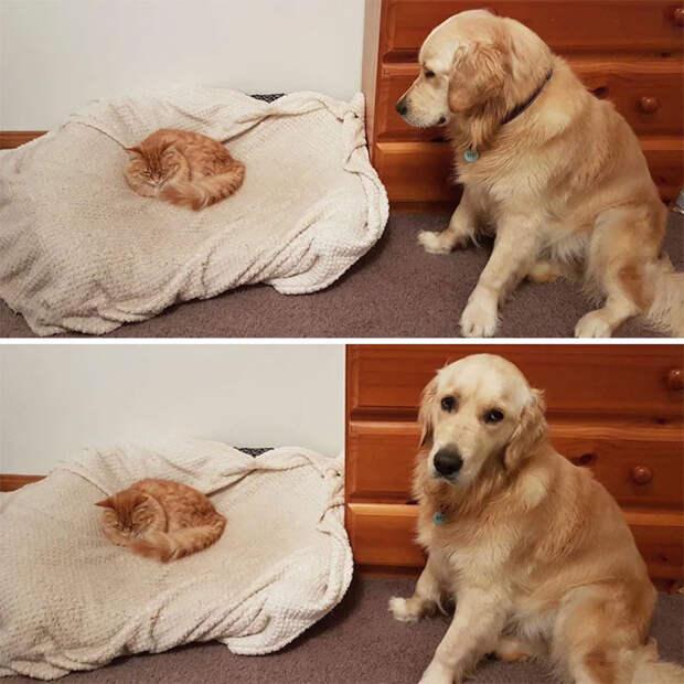 10 фото наглых котов, которые отжали место у собак