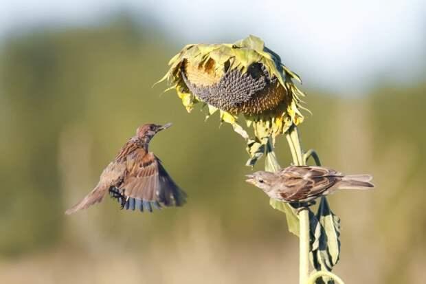 Как защитить подсолнечник от птиц
