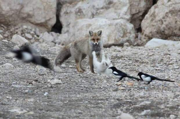 Лиса поймала бродячую кошку... И вот что из этого вышло!