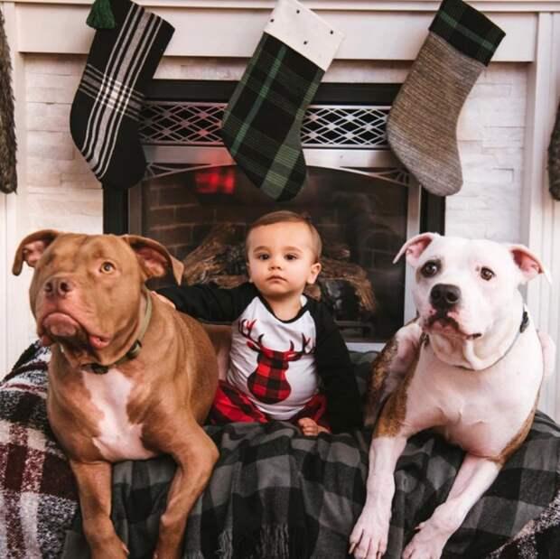 Заботливый питбуль не отходил от мальчика, заболевшего гриппом животные, история, мило, питбуль, про животных, собака, фото