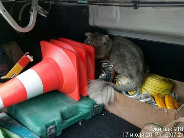 В Москве дорожный патруль спас кота мейн-куна, застрявшего в ограждении дороги