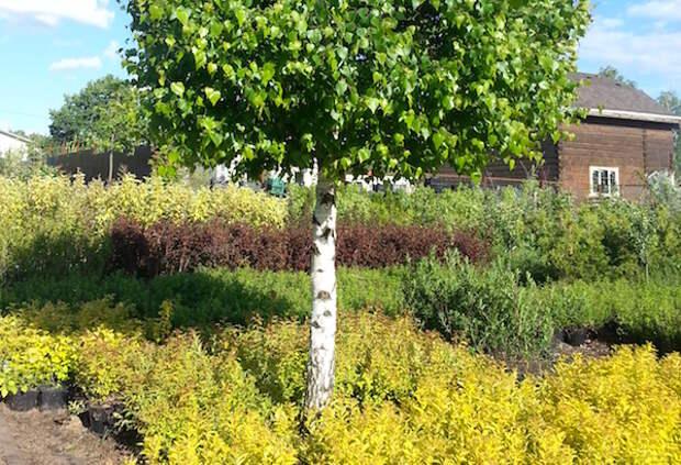 Вот какие деревья нельзя сажать в саду