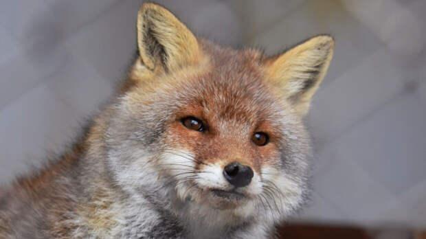 Для безопасности петербуржцев диких зверей подкармливают кормом с вакциной